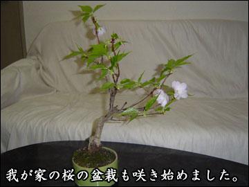 我が家の桜-2コマ