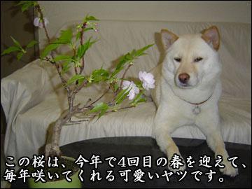 我が家の桜-3コマ