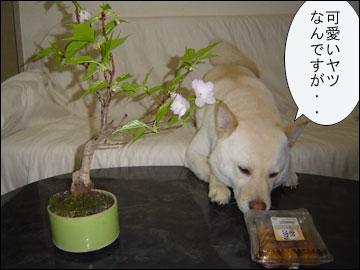 我が家の桜-4コマ