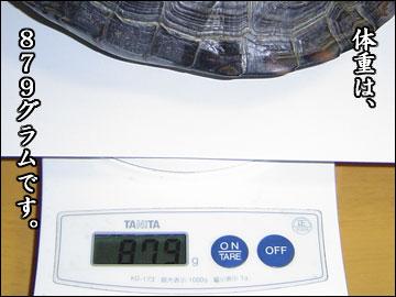 カメ姉さんの身体測定-4コマ
