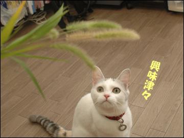 草食系ネコ-2コマ