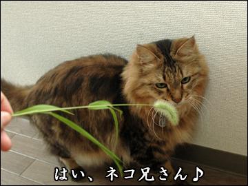 ネコ兄さんと草-1コマ