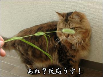 ネコ兄さんと草-2コマ