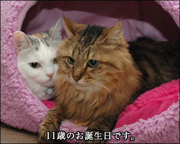 ネコ兄さんの誕生日-2コマ
